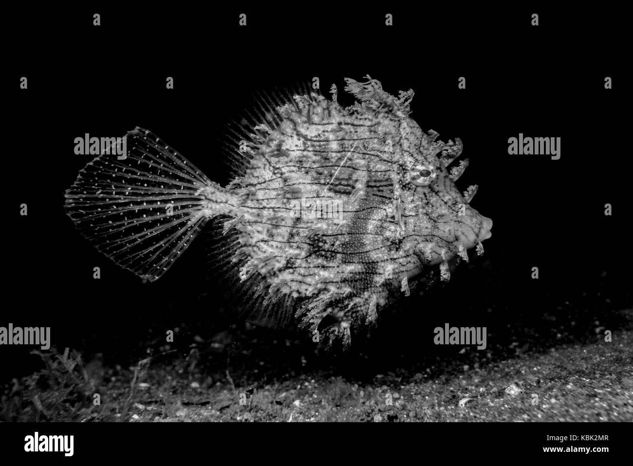 Leafy Filefish (Chaetodermis penicilligera) in the Lembeh Strait / Sulawesi / Indonesia - Stock Image
