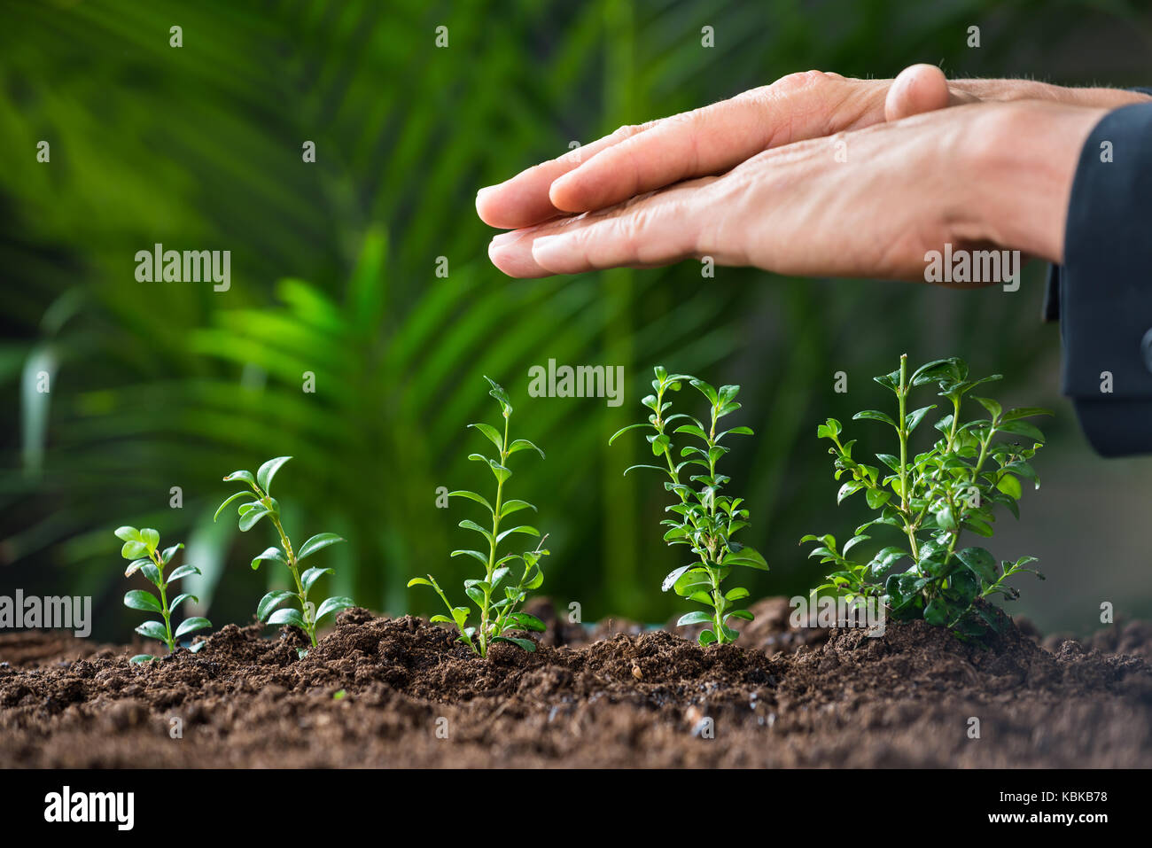 Closeup of businessman's hands protecting plants growing on land Stock Photo