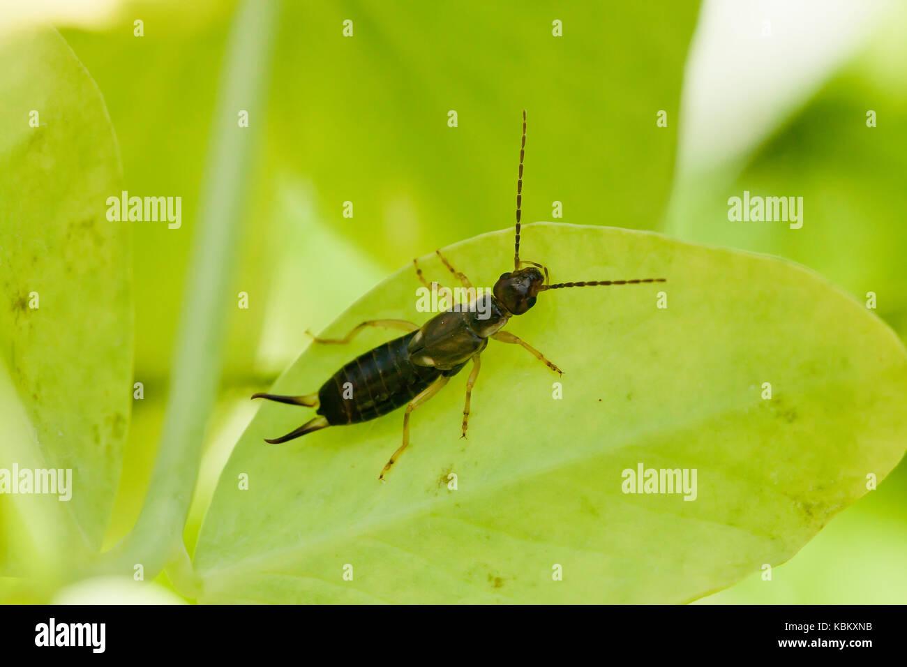 Common earwig bug, aka pincher bug on leaf (Forficula auricularia) - USA - Stock Image