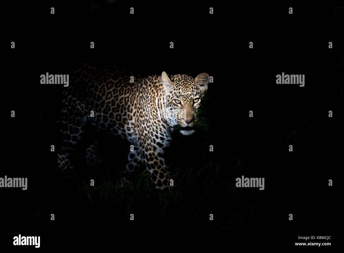 African Leopard (Panthera pardus) standing in the dark, illuminated on the head, looking at camera, Masai Mara national - Stock Image