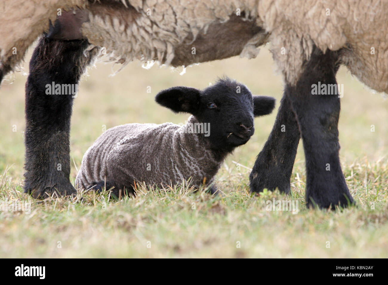 Lamb below his mother Stock Photo