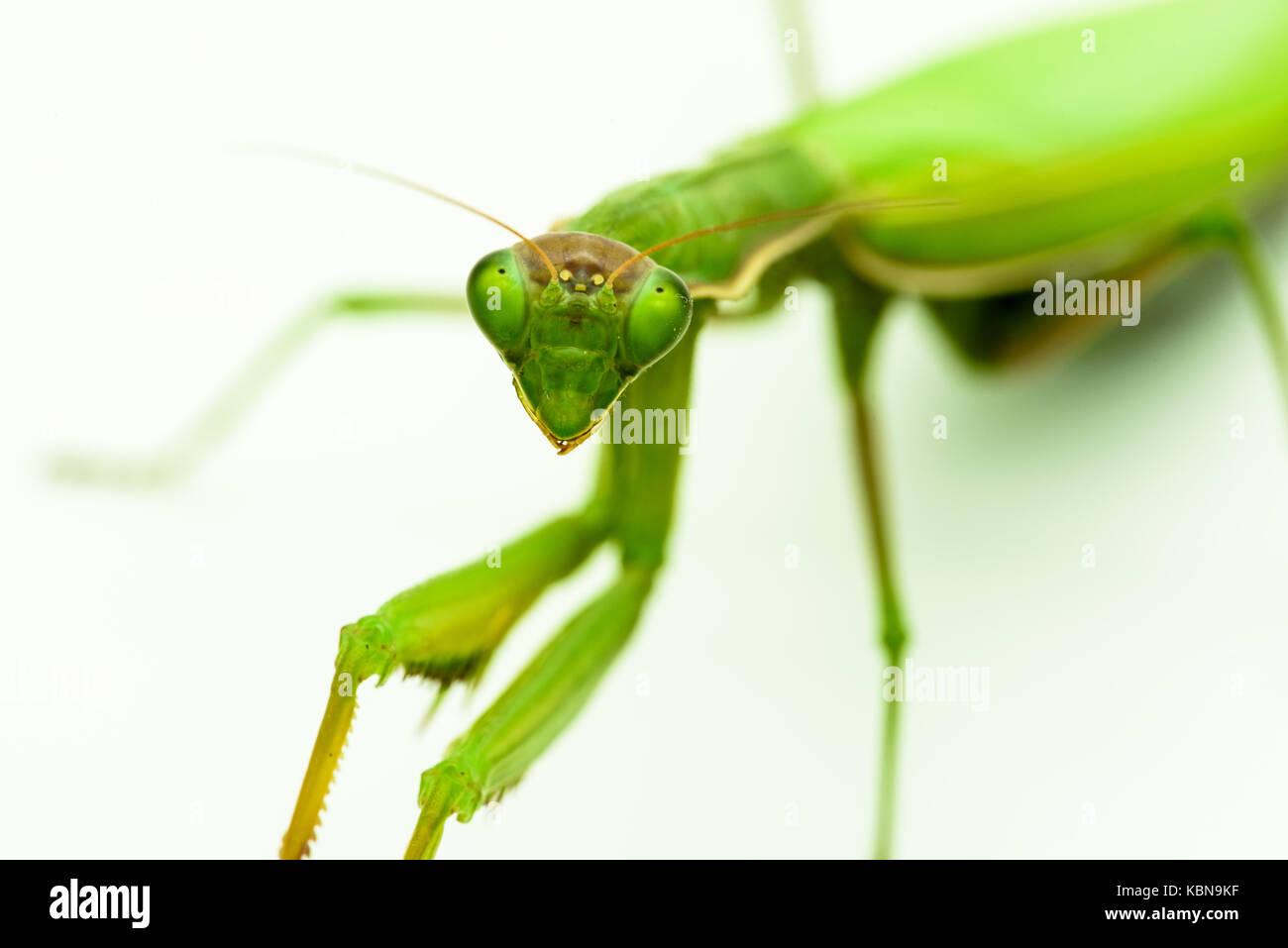 Praying mantis Praying mantis Stock Photo