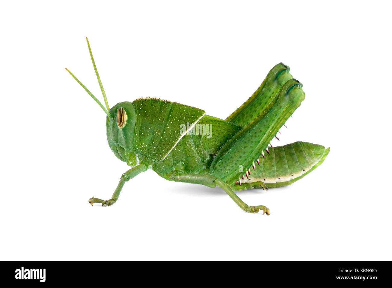 Nymph of a garden locust (Acanthacris ruficornis) on white, South Africa - Stock Image