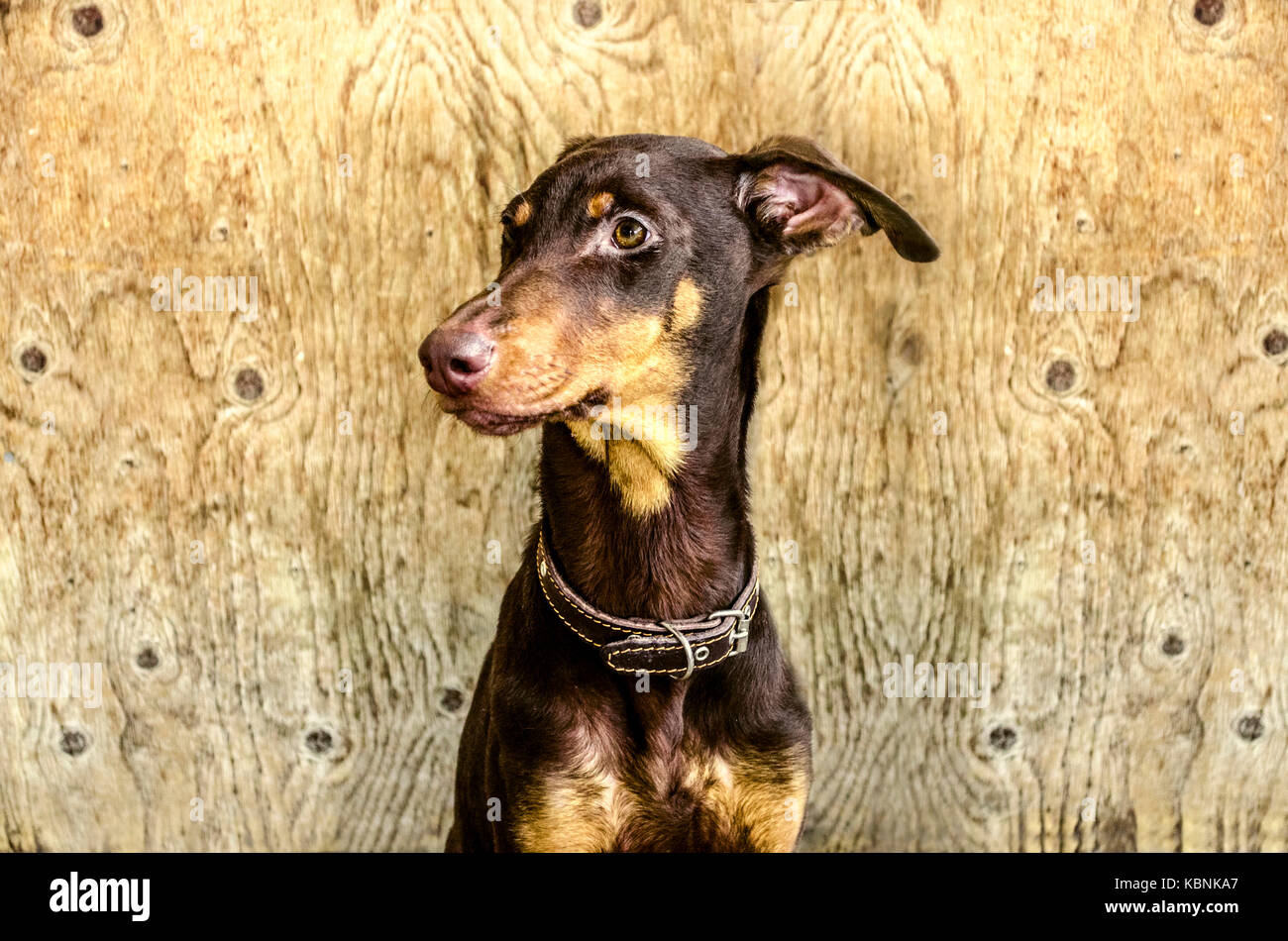 Young yellowish brown Doberman sitting in  backgrounds is not painted plywood - Stock Image