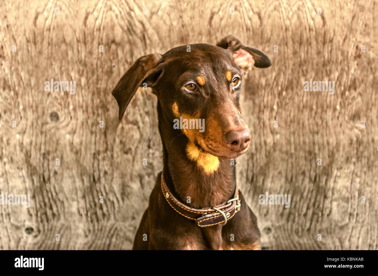 Young yellowish brown Doberman  at the door from is not painted plywood - Stock Image
