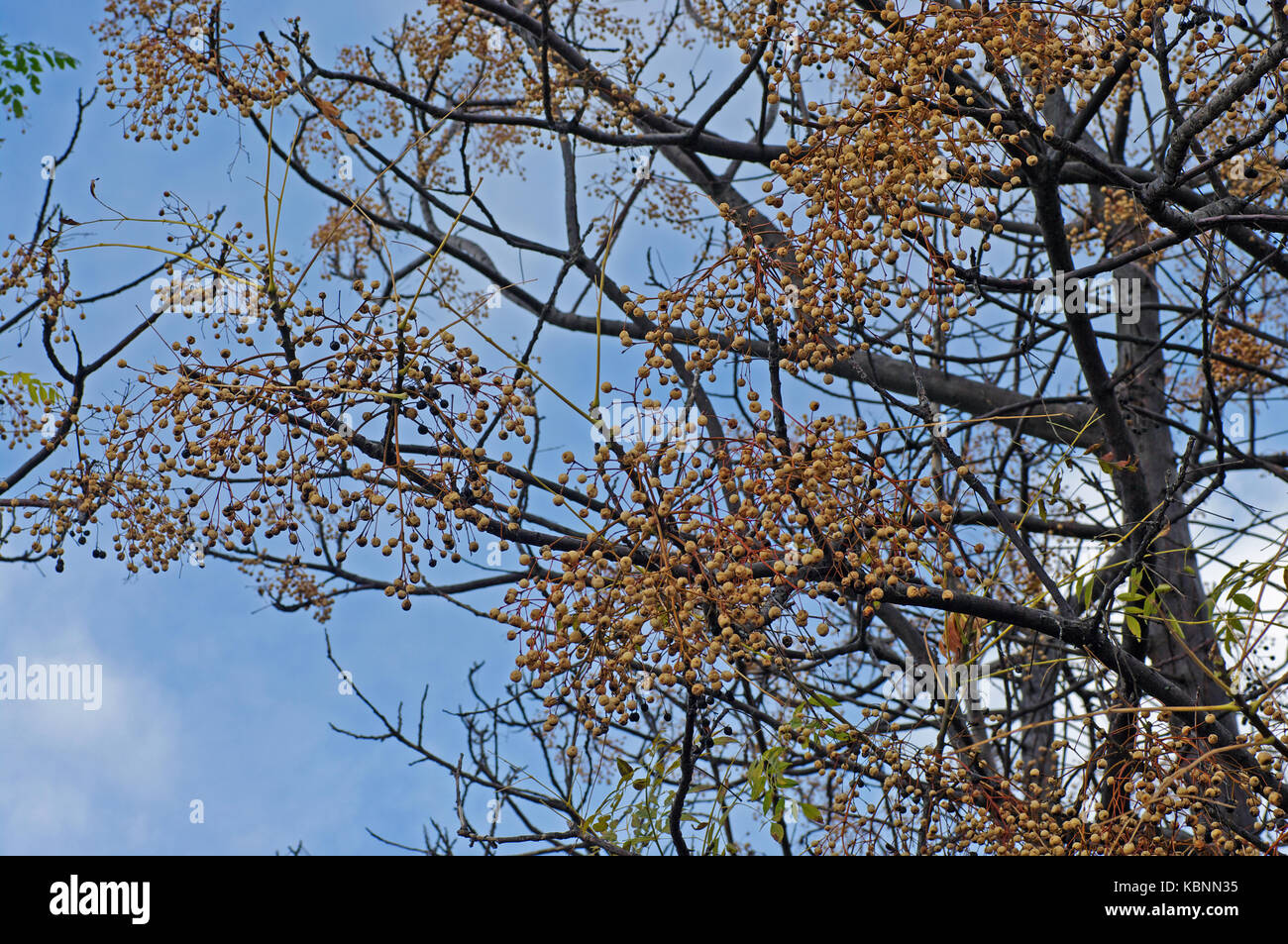 the tree Melia azederach, the Chinaberry tree or Bead-tree, from the family Meliaceae - Stock Image