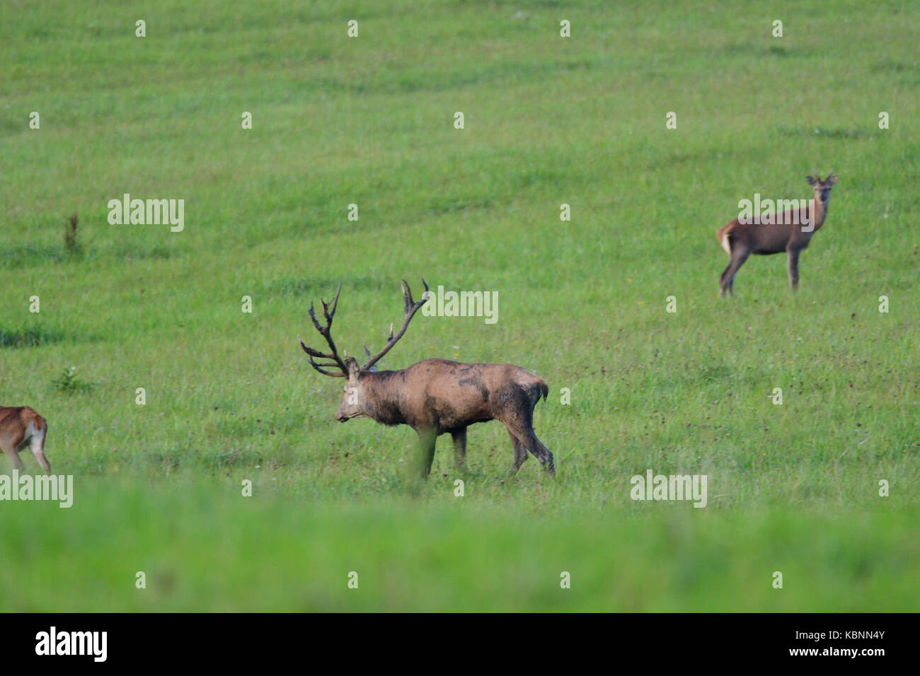 Forest stag in the rut season pairing - Stock Image
