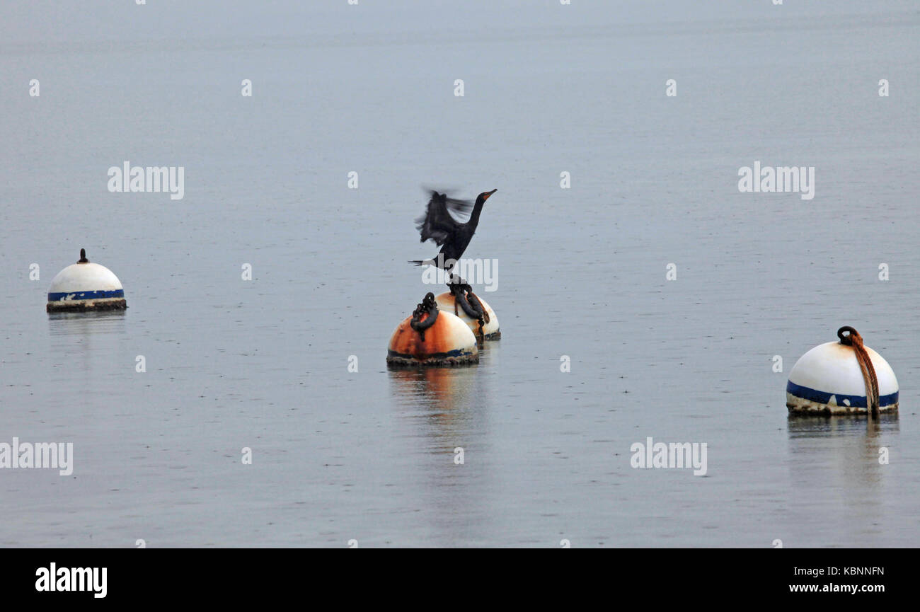 An Anhinga flaps its wings as it is about to take off from one of three bouys in the Florida Keys - Stock Image