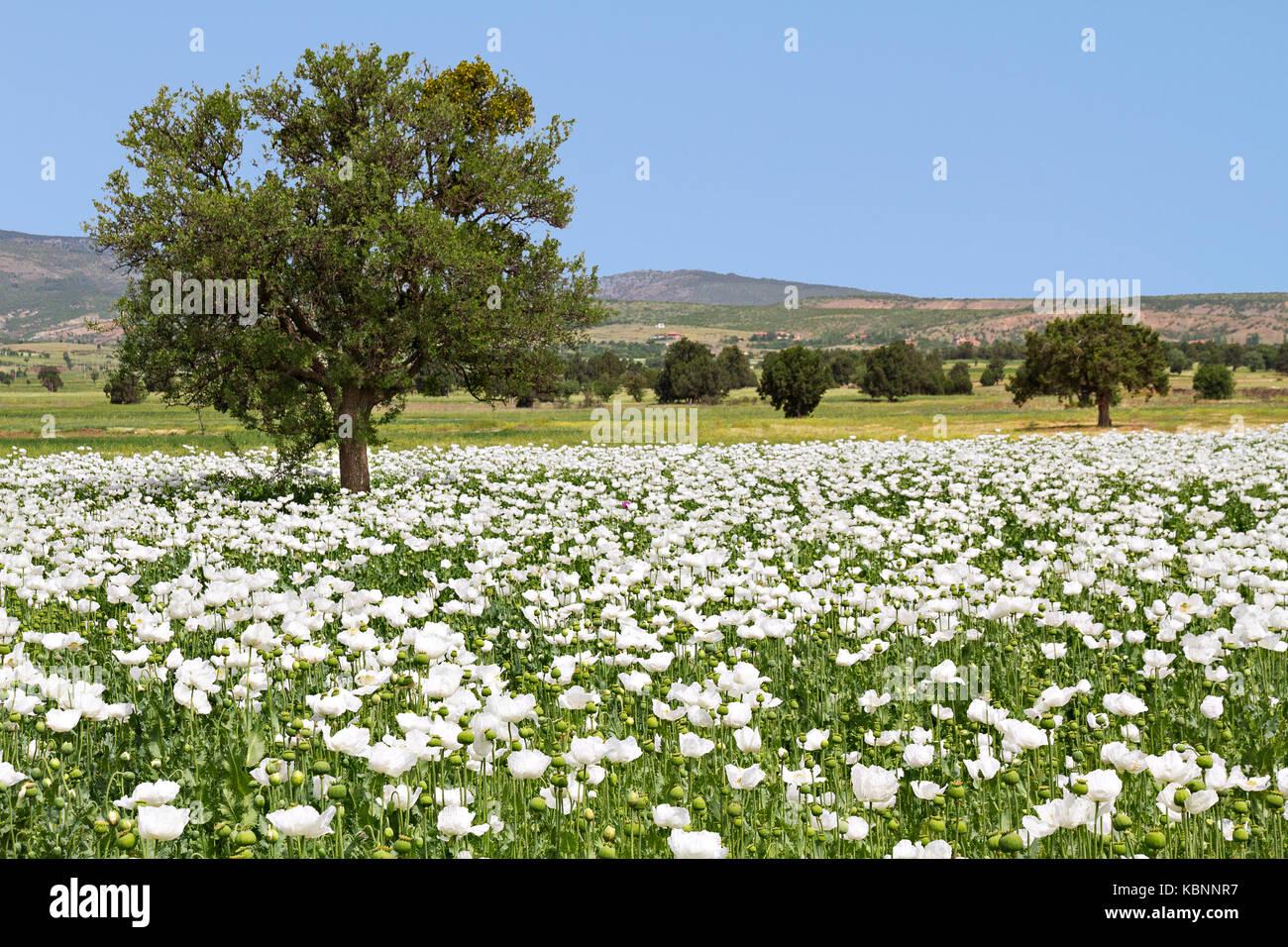 Opium poppy fields in turkey stock photo 162132635 alamy mightylinksfo
