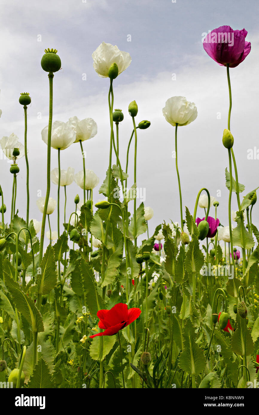 Opium poppies known as Papaver Somniferum in Latin, Turkey. Stock Photo