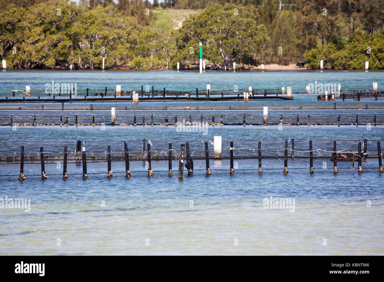 Oyster beds for farming Oysters in Wallis Lake at Forster, a key sourc eof Sydney Rock Oysters,New South Wales,Australia - Stock Image