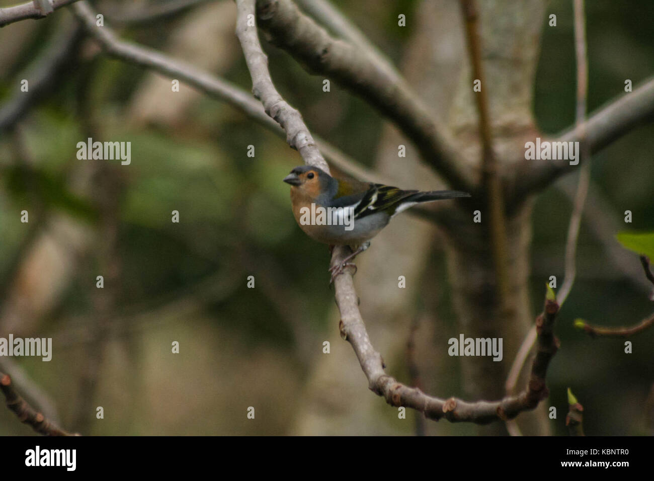 Chaffinch Madeira island - Stock Image