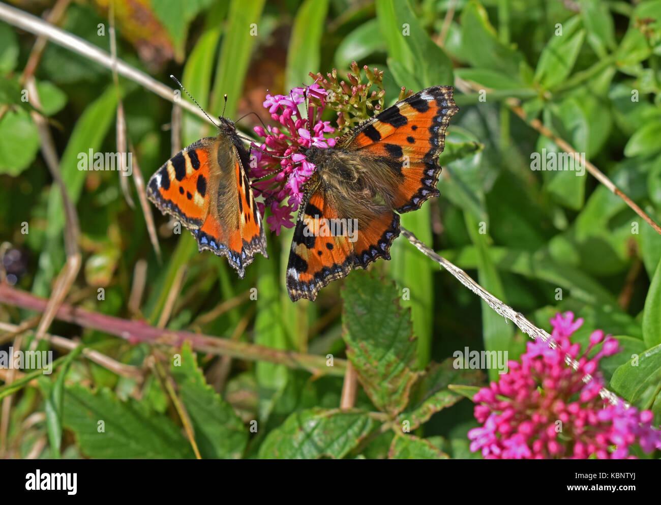 Small Tortoiseshell butterflies - Stock Image
