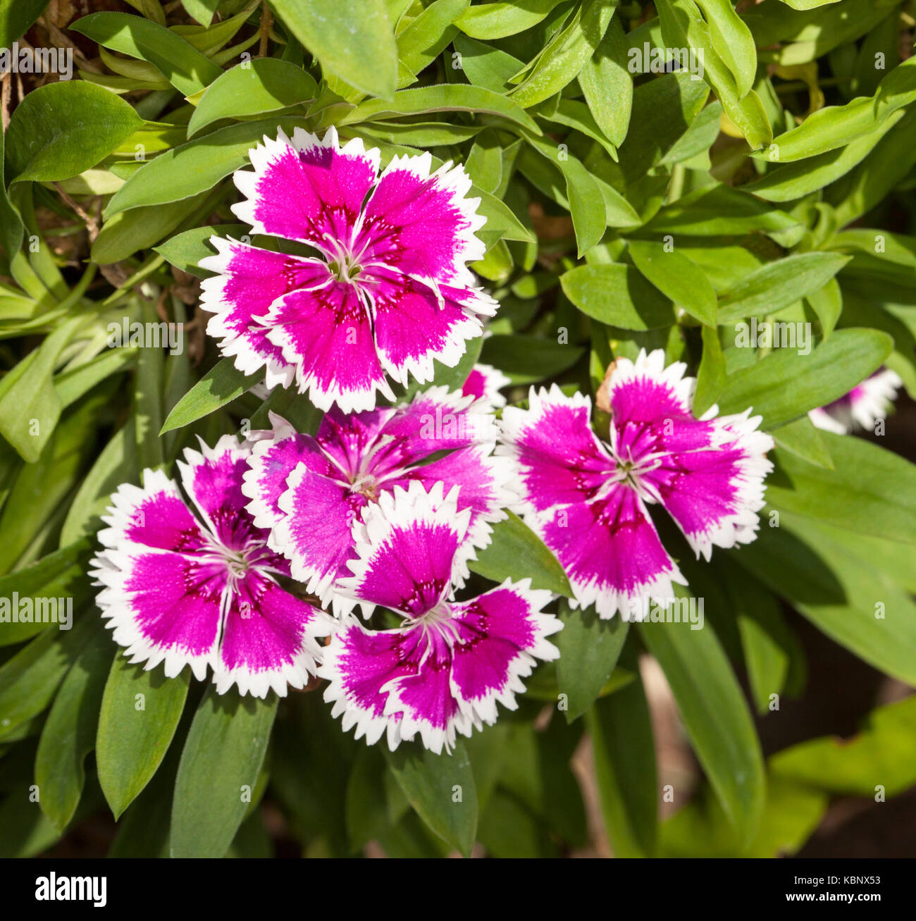 Cluster of magenta and white flowers of Dianthus barbatus - Stock Image