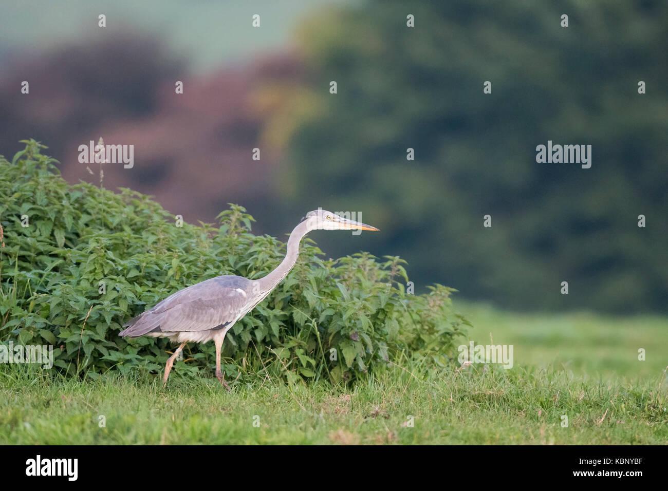 Heron. Ardea cinerea - Stock Image