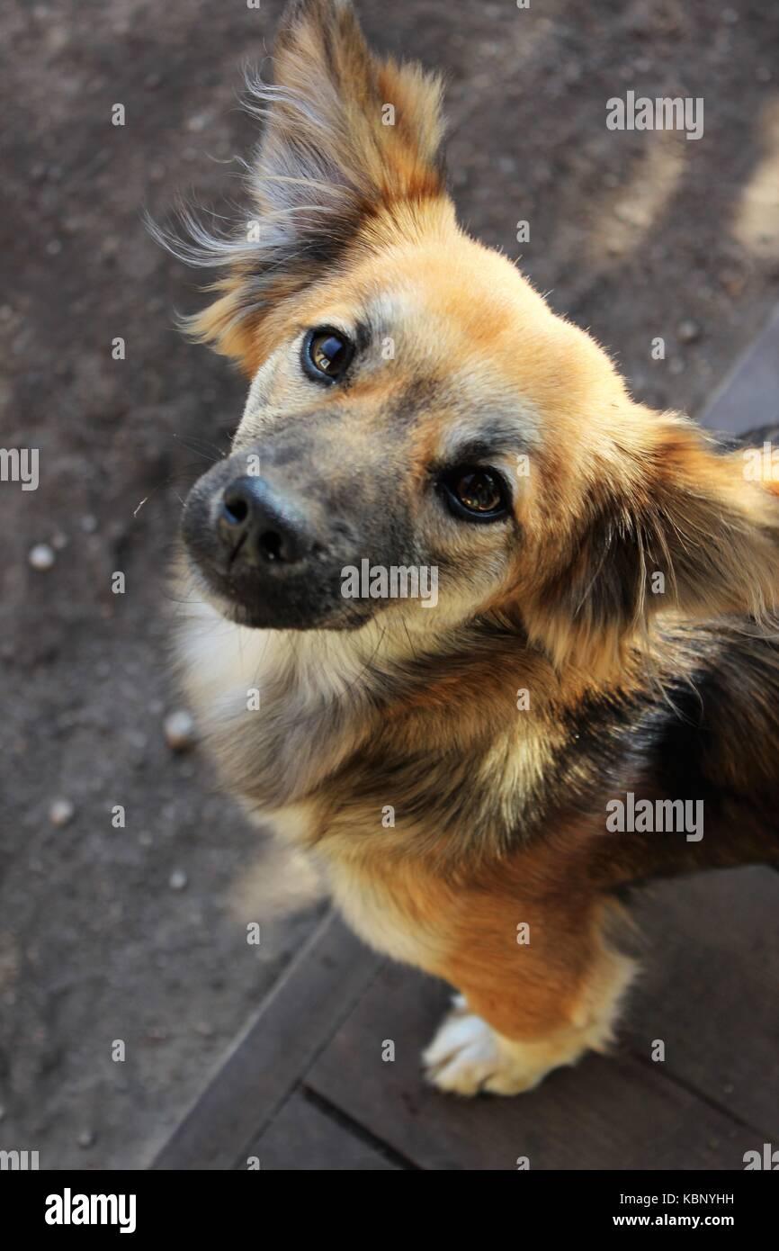 Mixed breed dog looking up - Stock Image