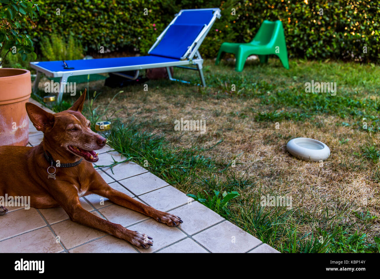 An Andalusian Hound (Canis lupus familiaris) laying on tiles in a garden with grass and sunbed in the background. Stock Photo