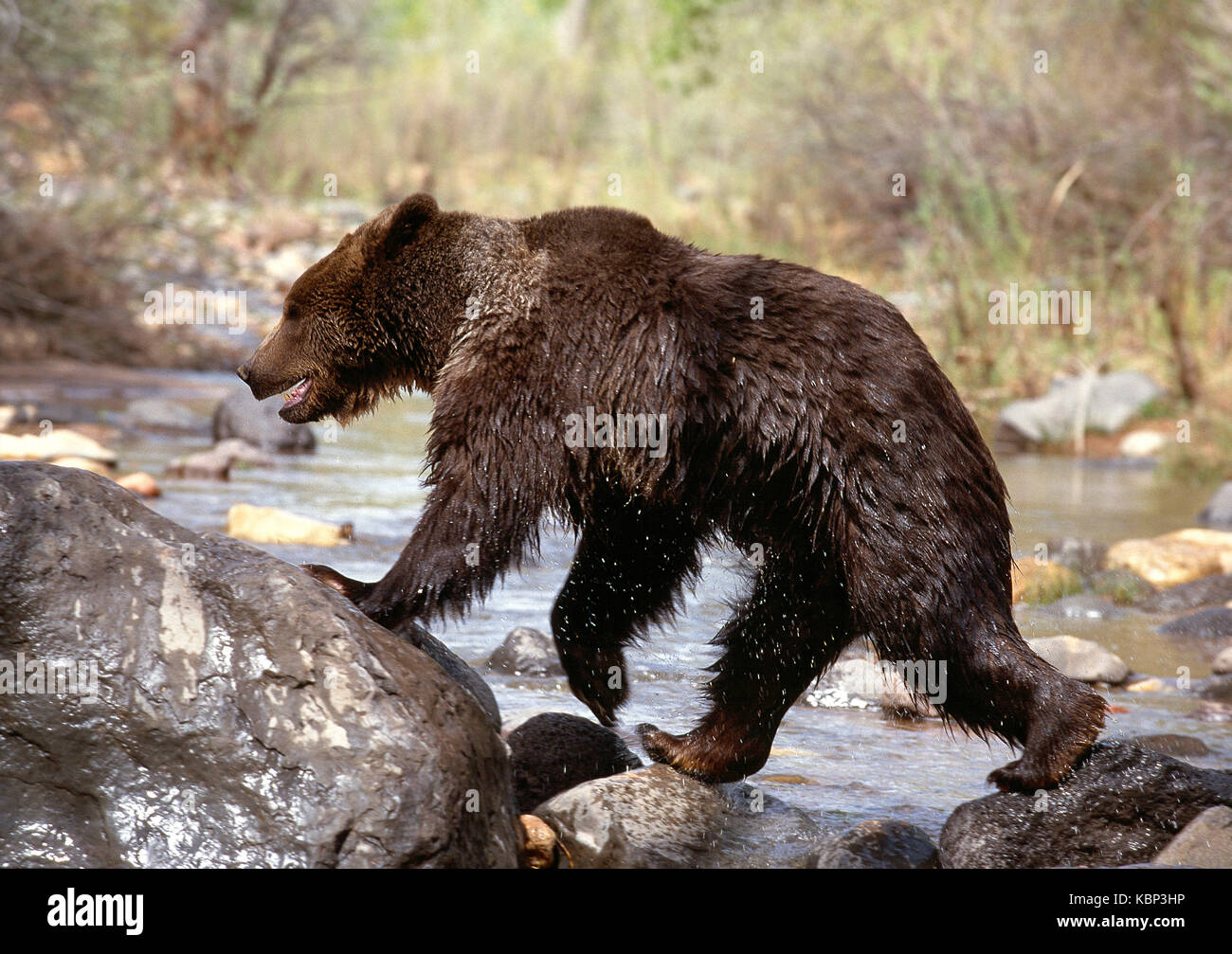 USA. Utah. Wildlife. Grizzly Bear crossing a river. - Stock Image