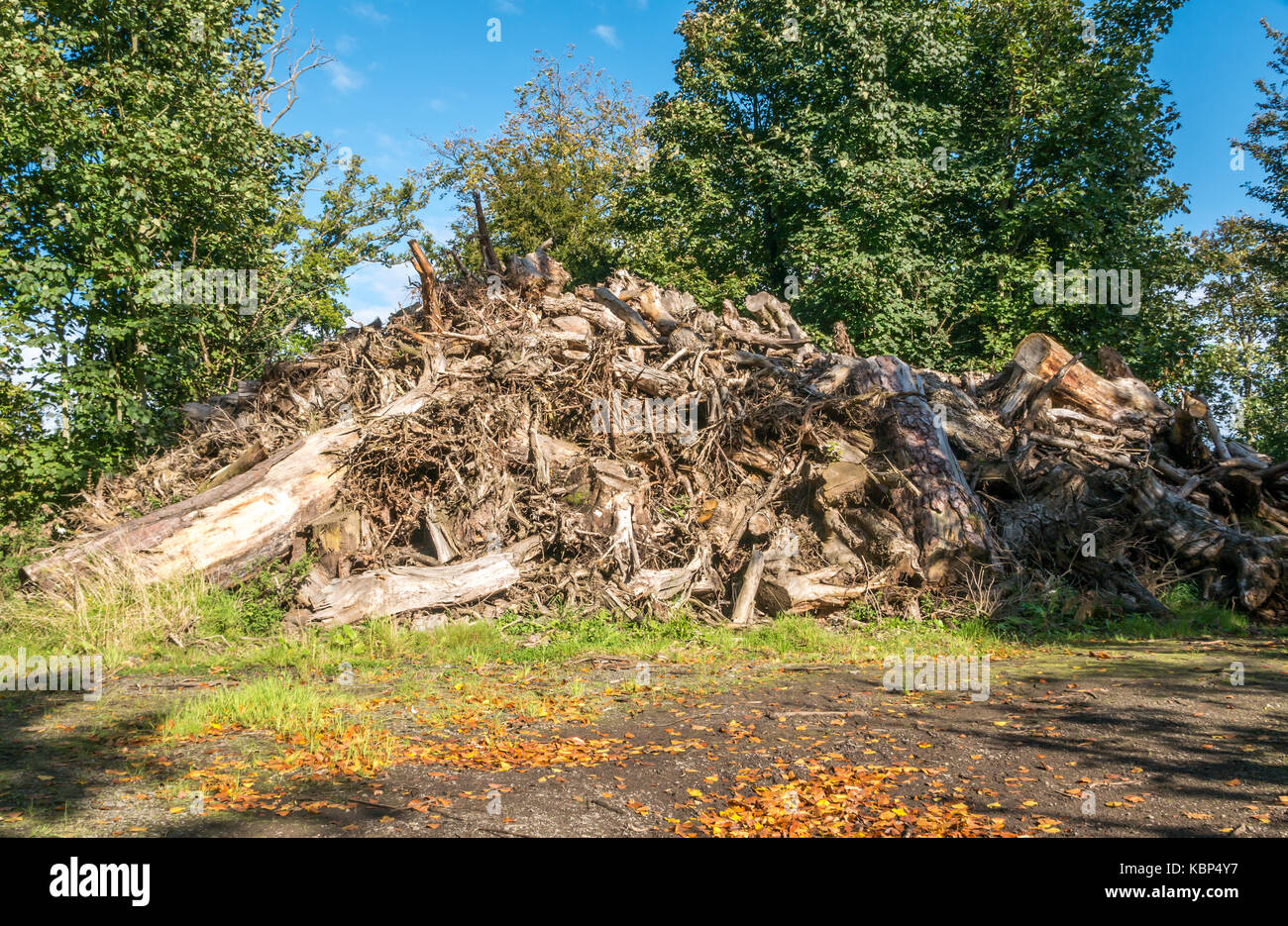 Forestry management of large pile of uprooted tree stumps and logs on managed woodland, Gilberton estate, East Lothian, - Stock Image