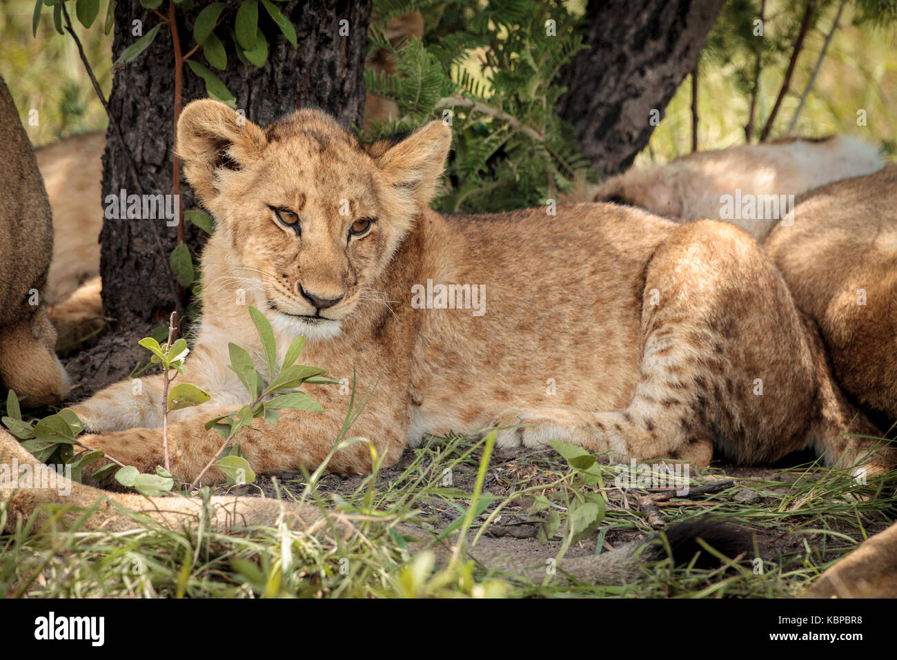 Portrait of African lions (Panthera leo) resting in the bush, cub with spots lying against tree Stock Photo