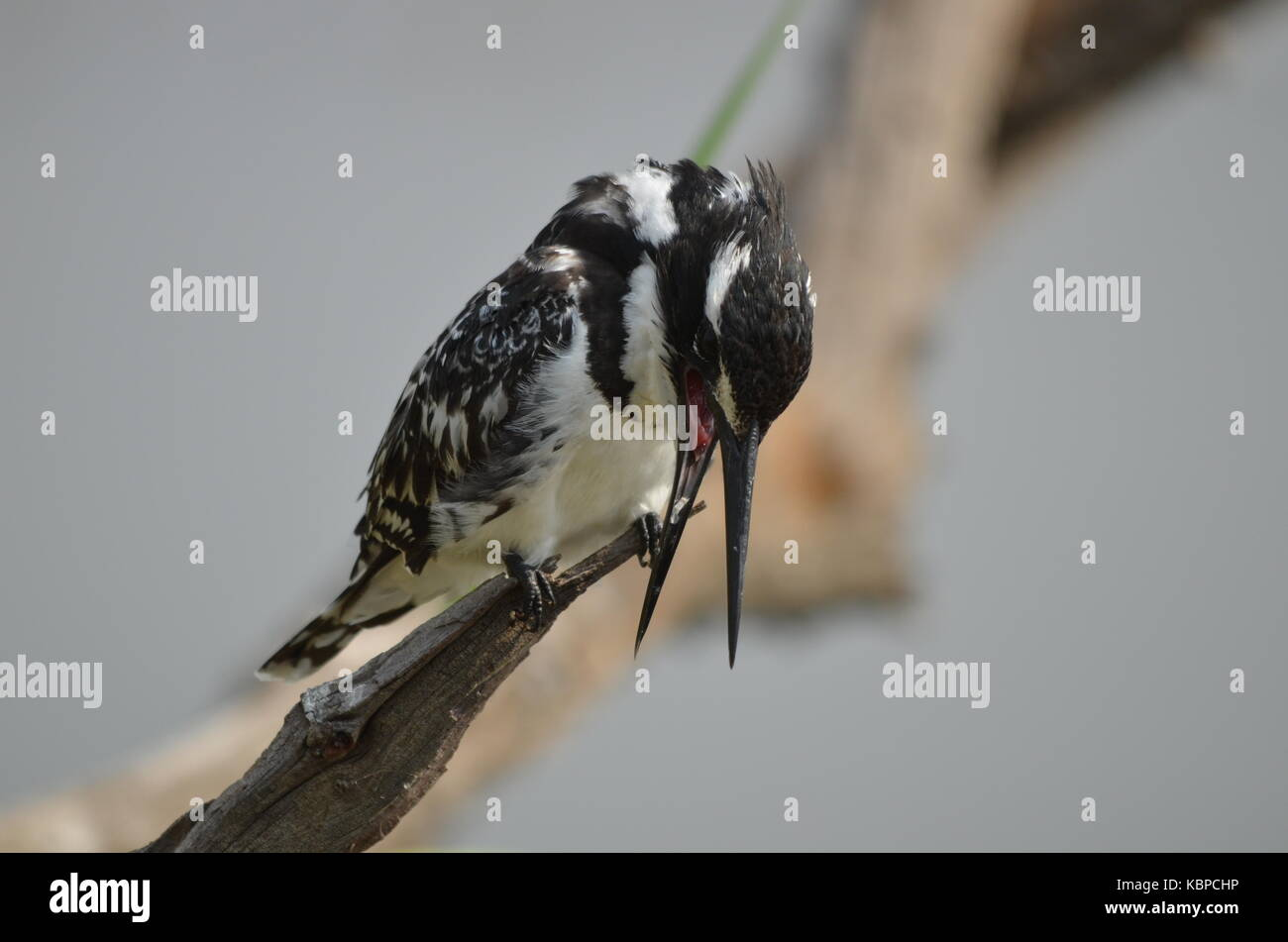 Pied Kingfisher (Ceryle rudis) perched on a branch in Pilanesberg - South Africa - Stock Image