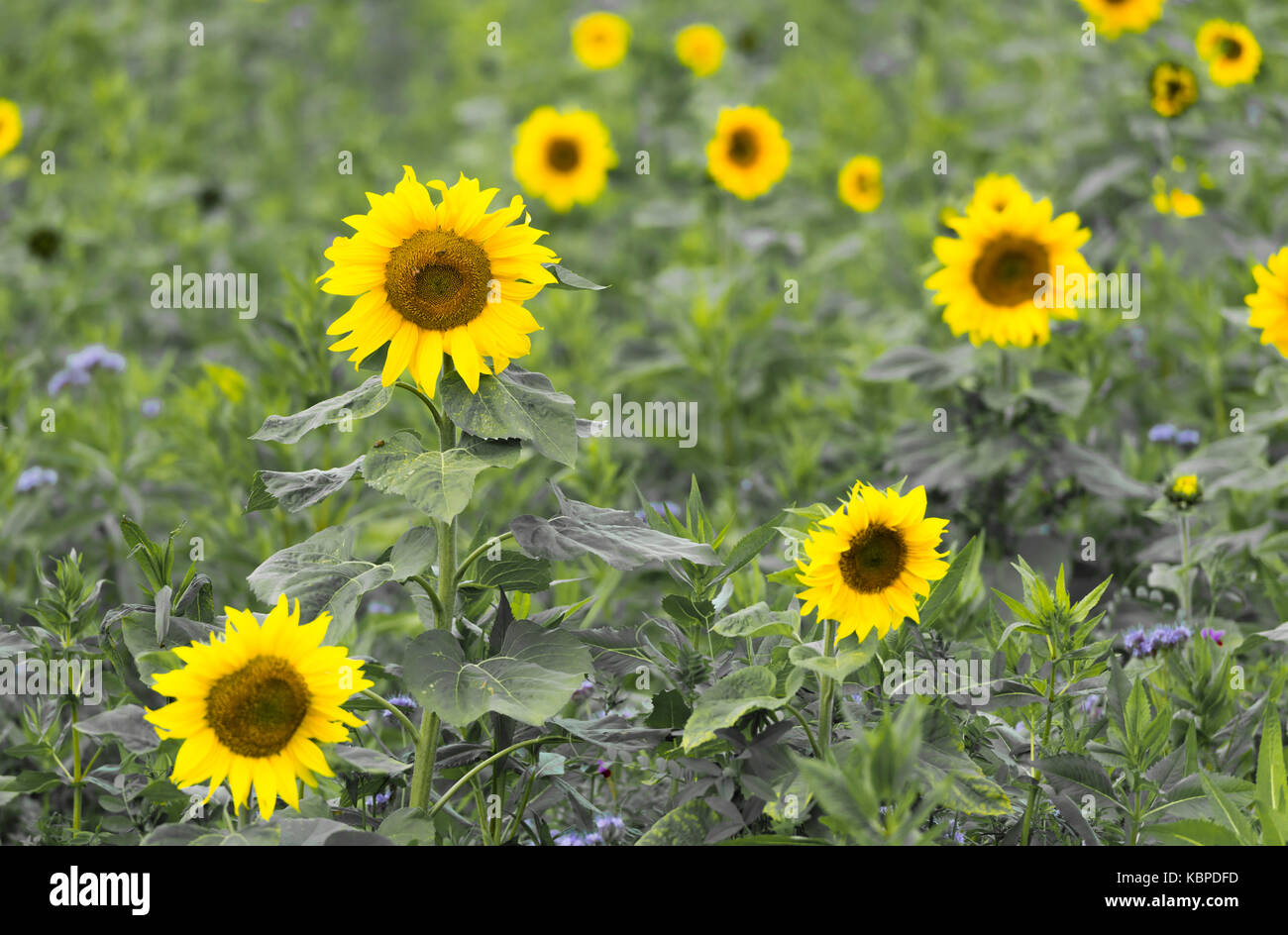 Large field with many sunflowers Stock Photo