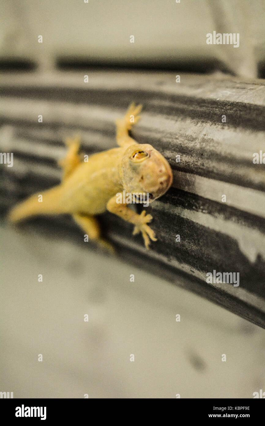 Gecko - Stock Image