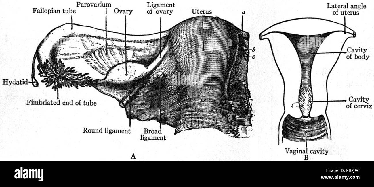 EB1911 Reproductive System, in Anatomy A. uterus and broad Stock ...