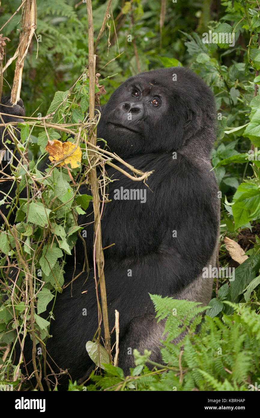 Mountain Gorilla in the jungle of Rwanda. Volcanoes National Park. - Stock Image