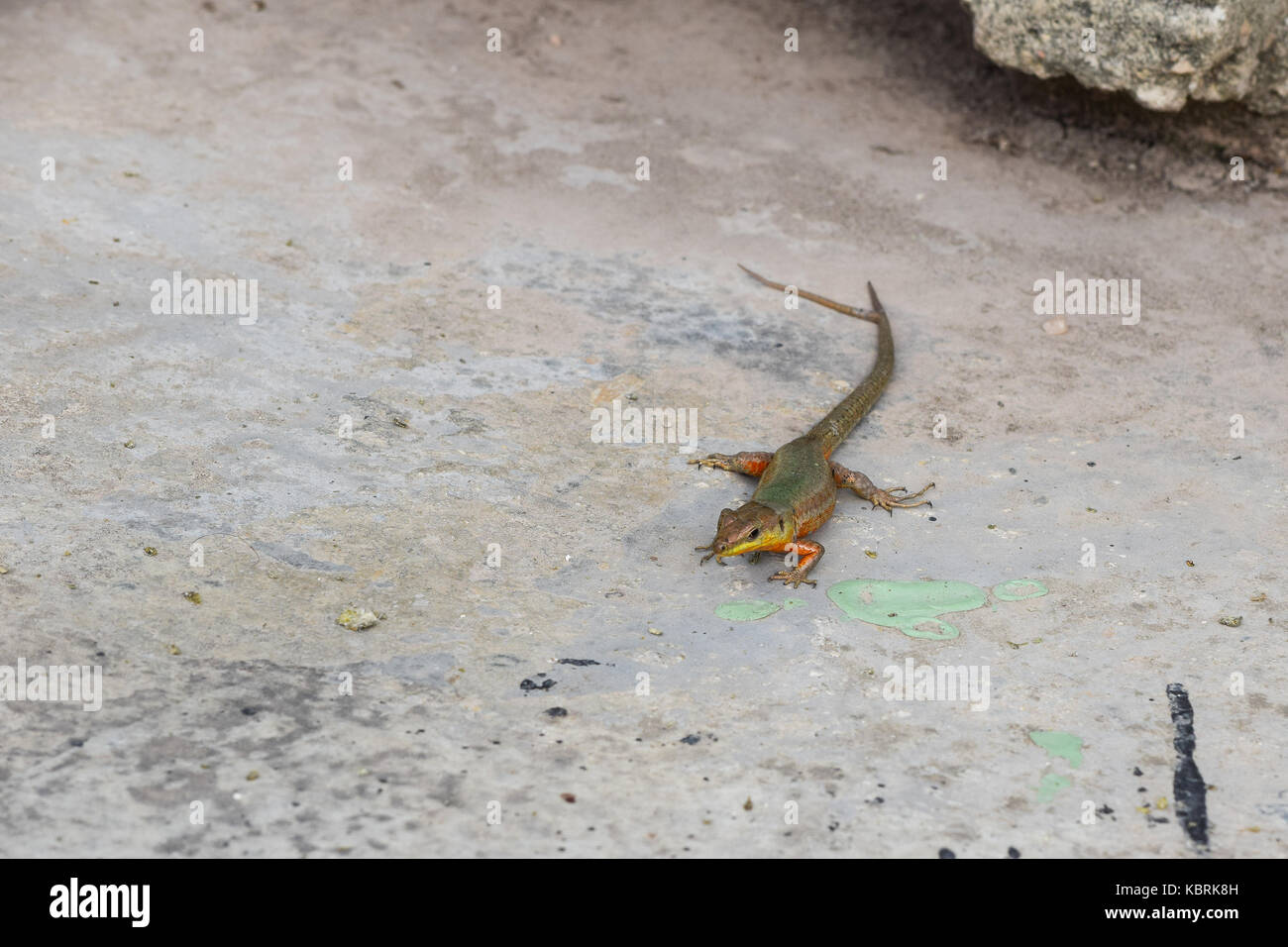 A Maltese Wall Lizard, Podarcis filfolensis, with a forked tail, or two tails, split tail. Old tail damaged and - Stock Image