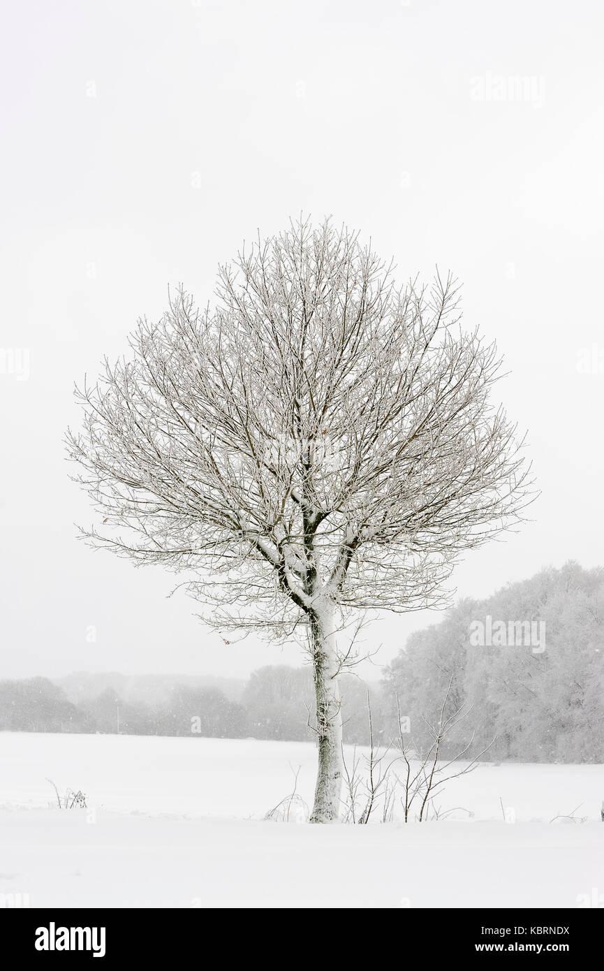 Pedunculate Oak in winter, North Rhine-Westphalia, Germany / (Quercus robur, Quercus pedunculata) | Stieleiche im - Stock Image