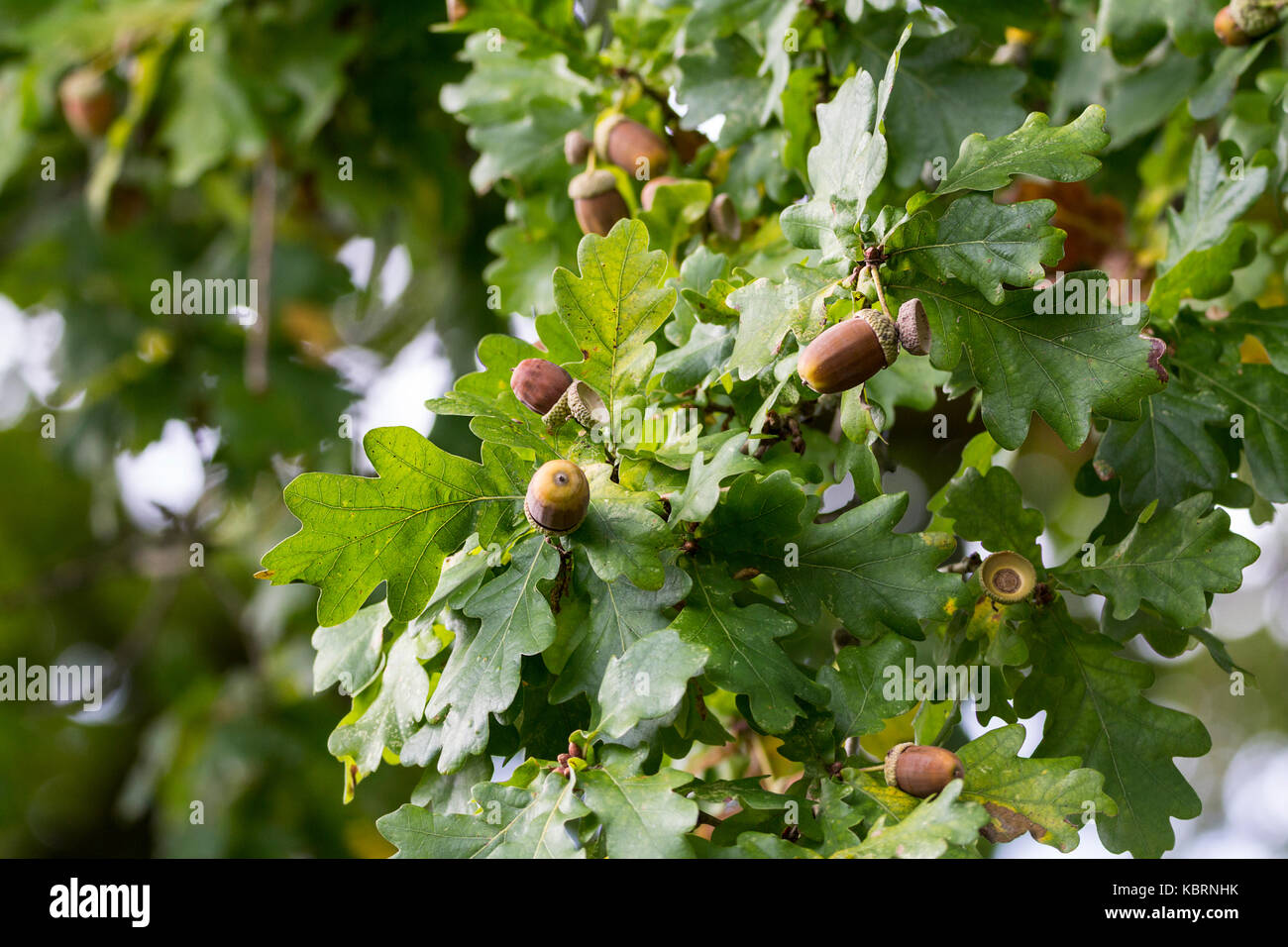 Oak leaves and acorns pedunculate oak or Quercus robur in late summer now dropping acorns to the ground. Some leaves Stock Photo