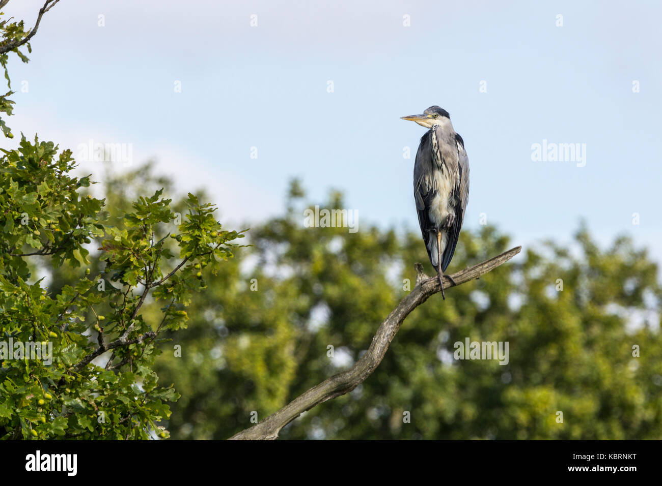 Grey heron perched on bare brach with blue sky background and tree tops. Ardea cinerea large water bird long neck - Stock Image