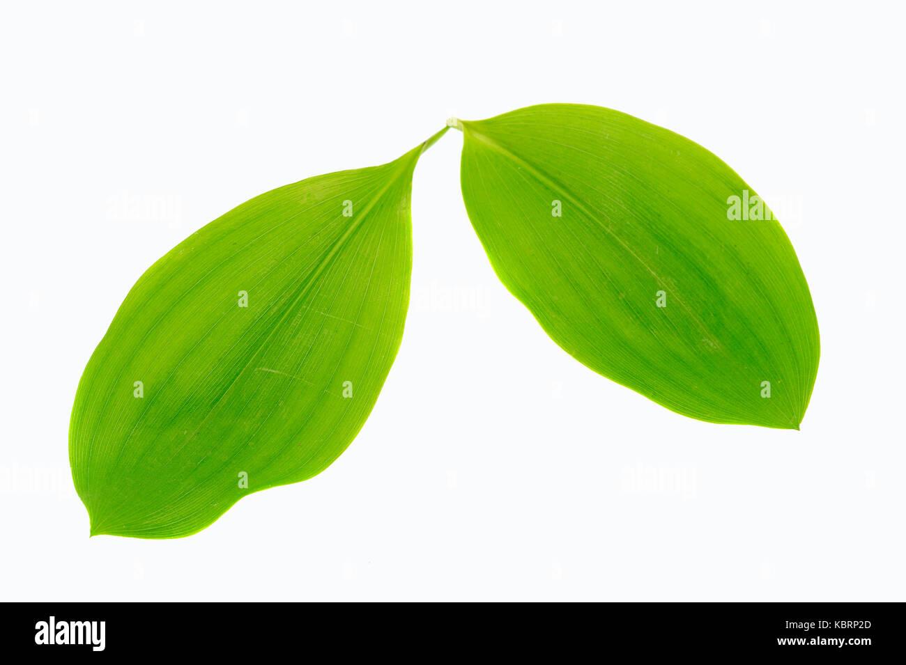 Lily of the Valley, leaves / (Convallaria majalis) | Maigloeckchen, Blaetter / (Convallaria majalis) - Stock Image