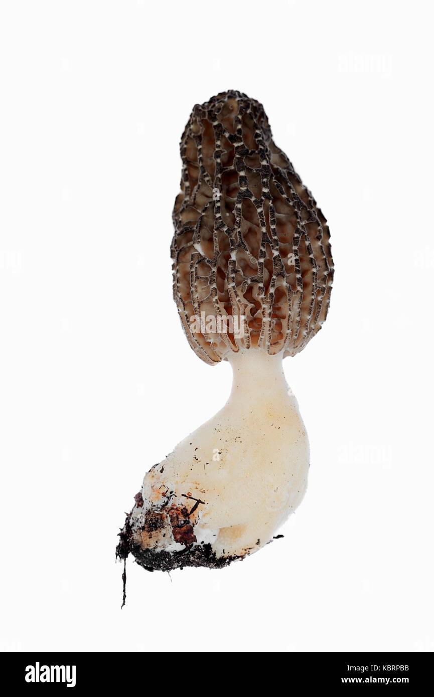 Black Morel, North Rhine-Westphalia, Germany / (Morchella conica, Morchella elata) | Spitzmorchel, Nordrhein-Westfalen, - Stock Image