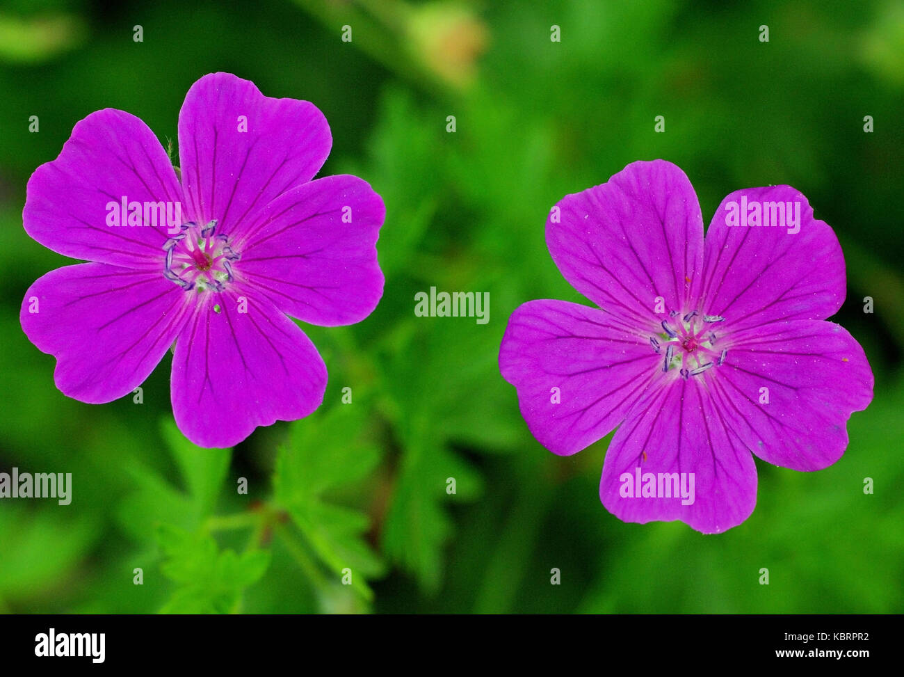 this is the wildflower Geranium columbinum, the Long-stalked crane's-bill or Dove's-foot, family Geraniaceae - Stock Image