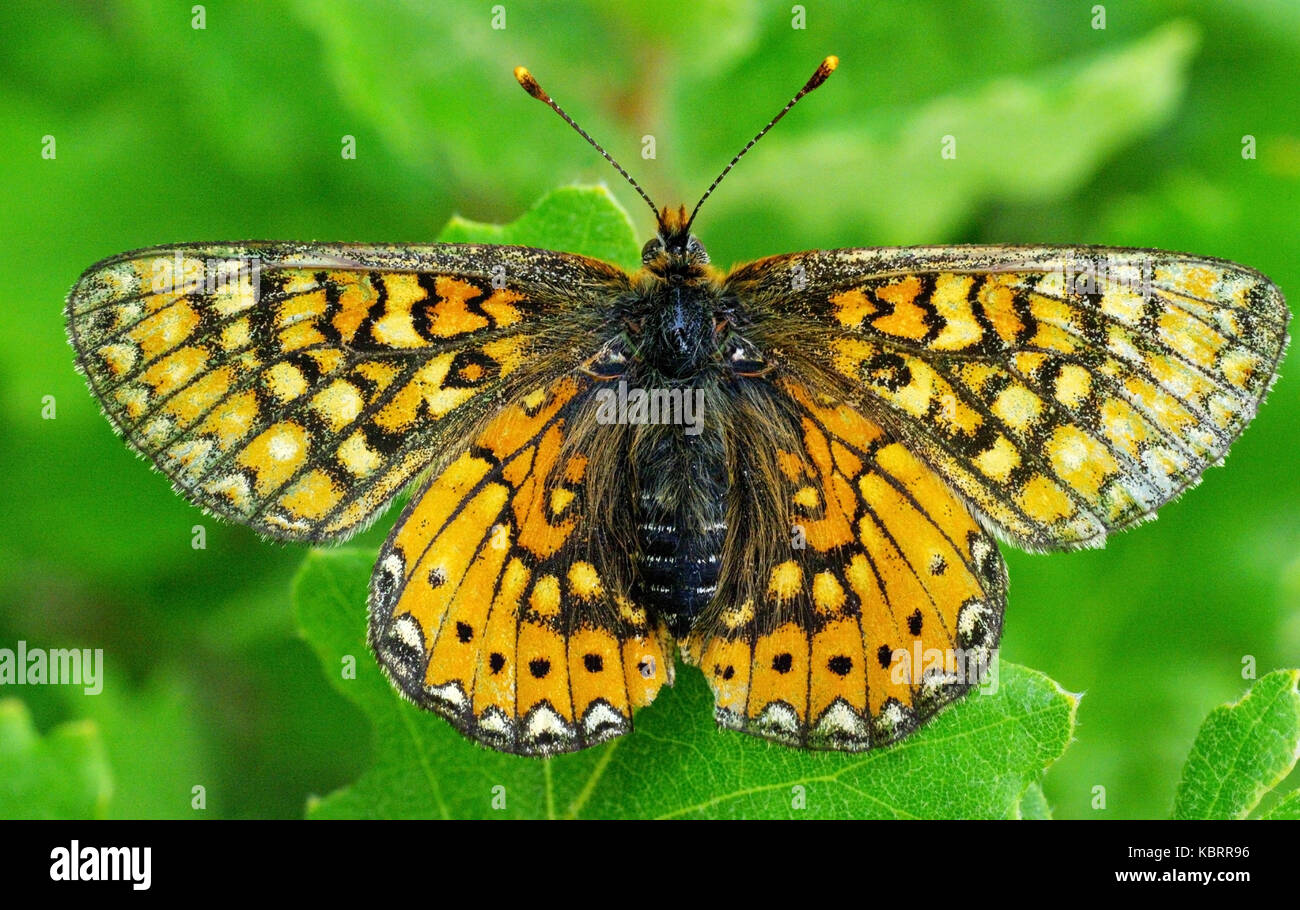 this is Melitaea phoebe, the Knapweed fritillary, from the family Nymphalidae - Stock Image
