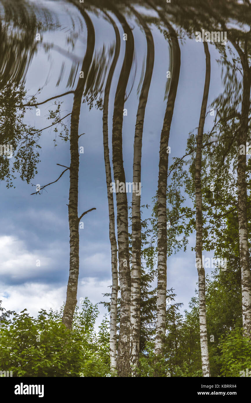 Upside down birch trees in summer Stock Photo