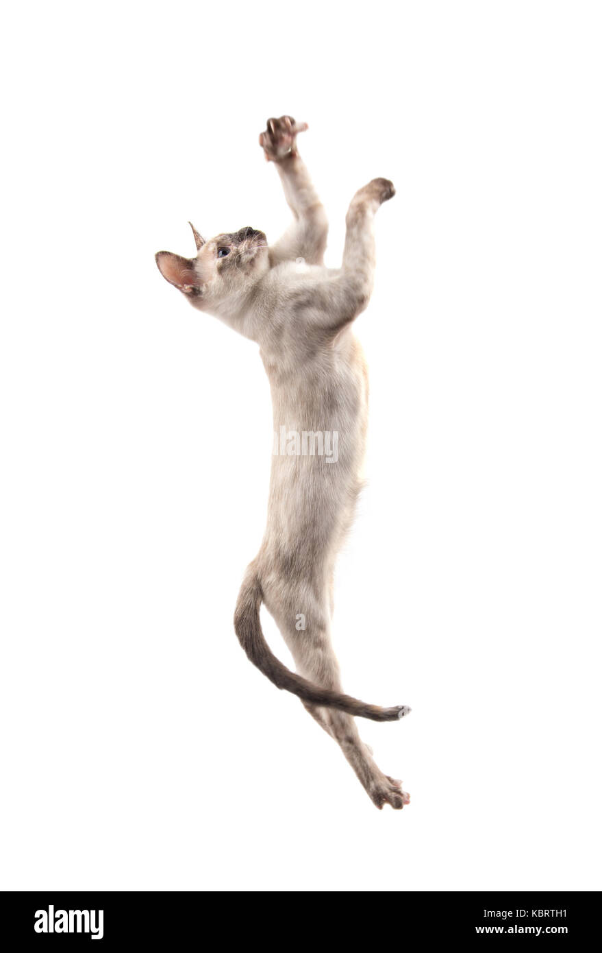 Siamese kitten leaping up high swatting with her paws, on white - Stock Image
