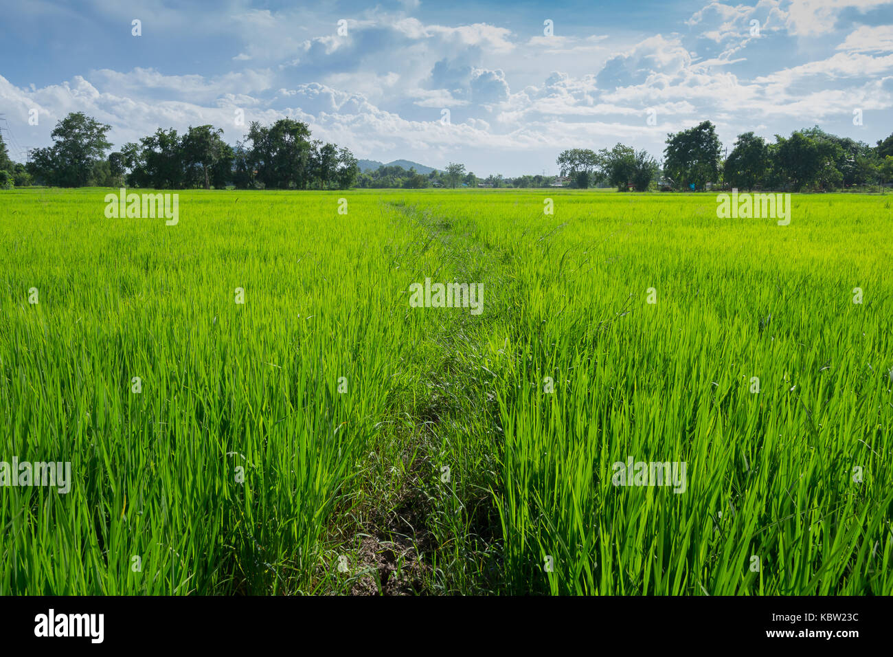 Image of green rice field with blue sky for background usage. - Stock Image