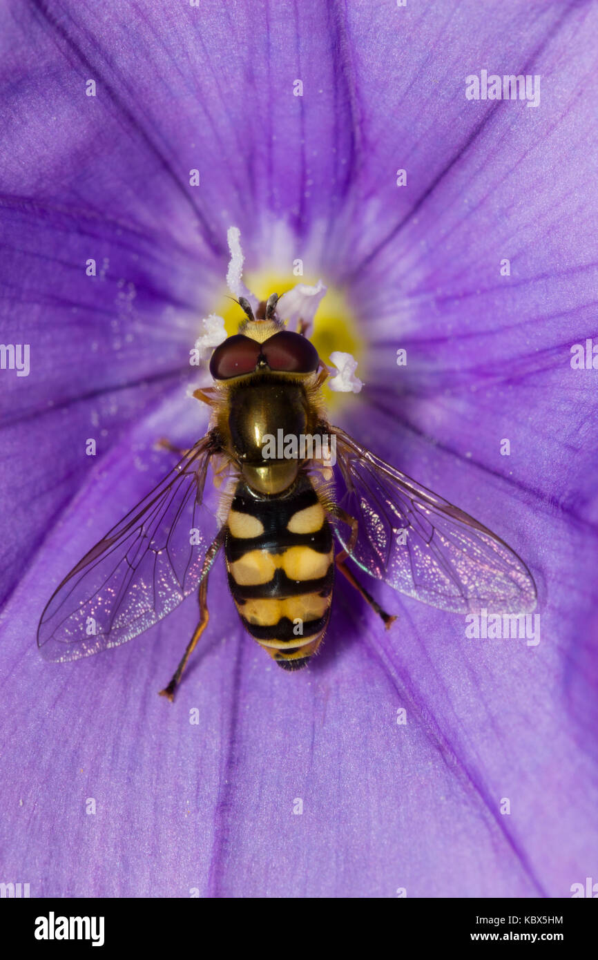 Yellow and black marked wasp mimic Migrant hoverfly, Eupeodes corollae, a UK native - Stock Image
