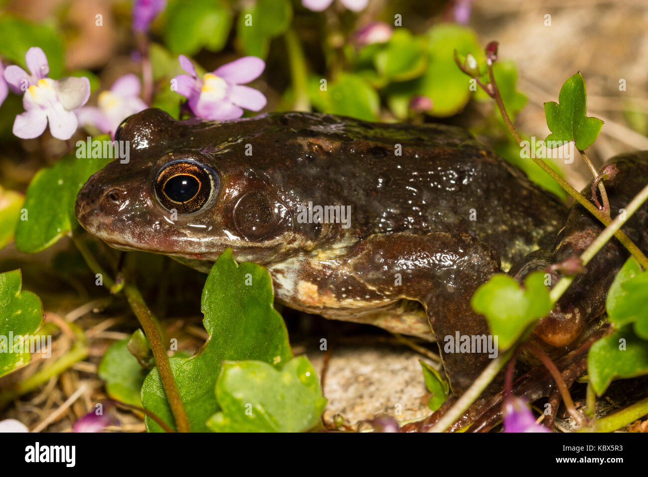 UK common frog, Rana temporaria, in vegetation by the side of a garden pond - Stock Image