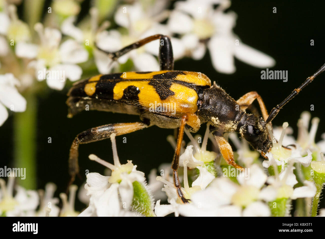 Adult spotted longhorn beetle, Rutpela maculata, feeding on umbellifer flowers - Stock Image