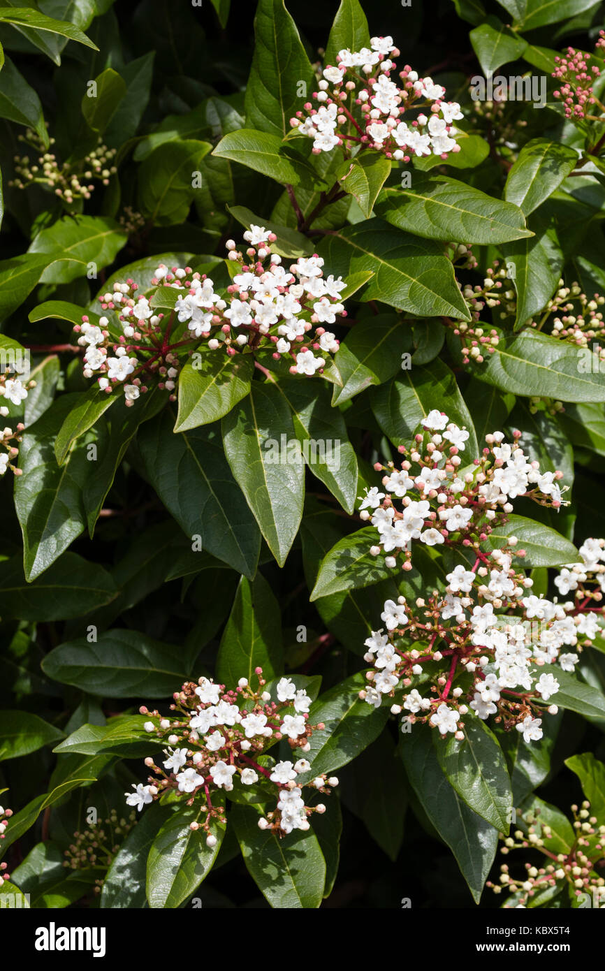 White Autumn Flowers Of The Hardy Evergreen Laurustinus Shrub