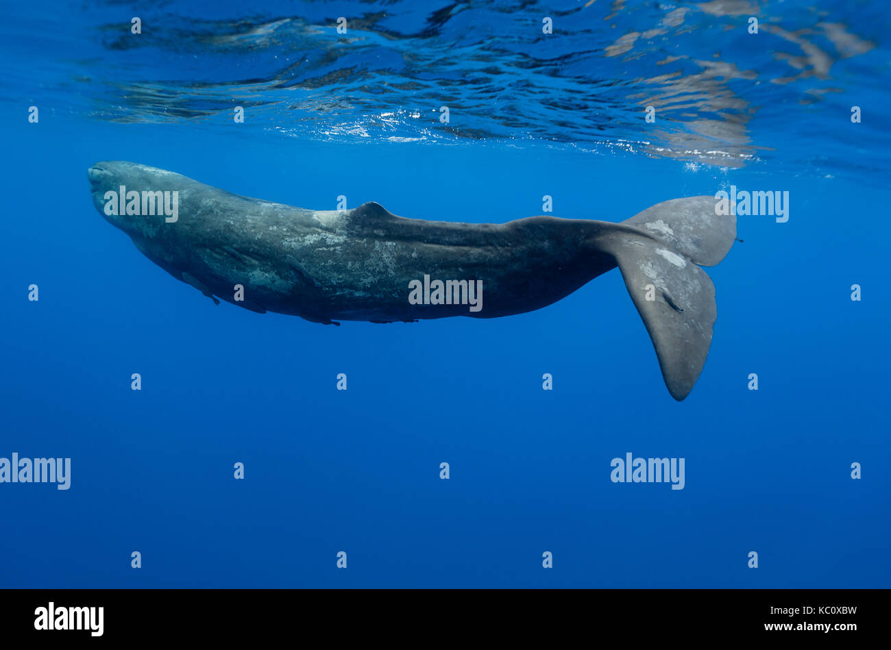 Sperm whale swimming, Indian Ocean, Mauritius. - Stock Image