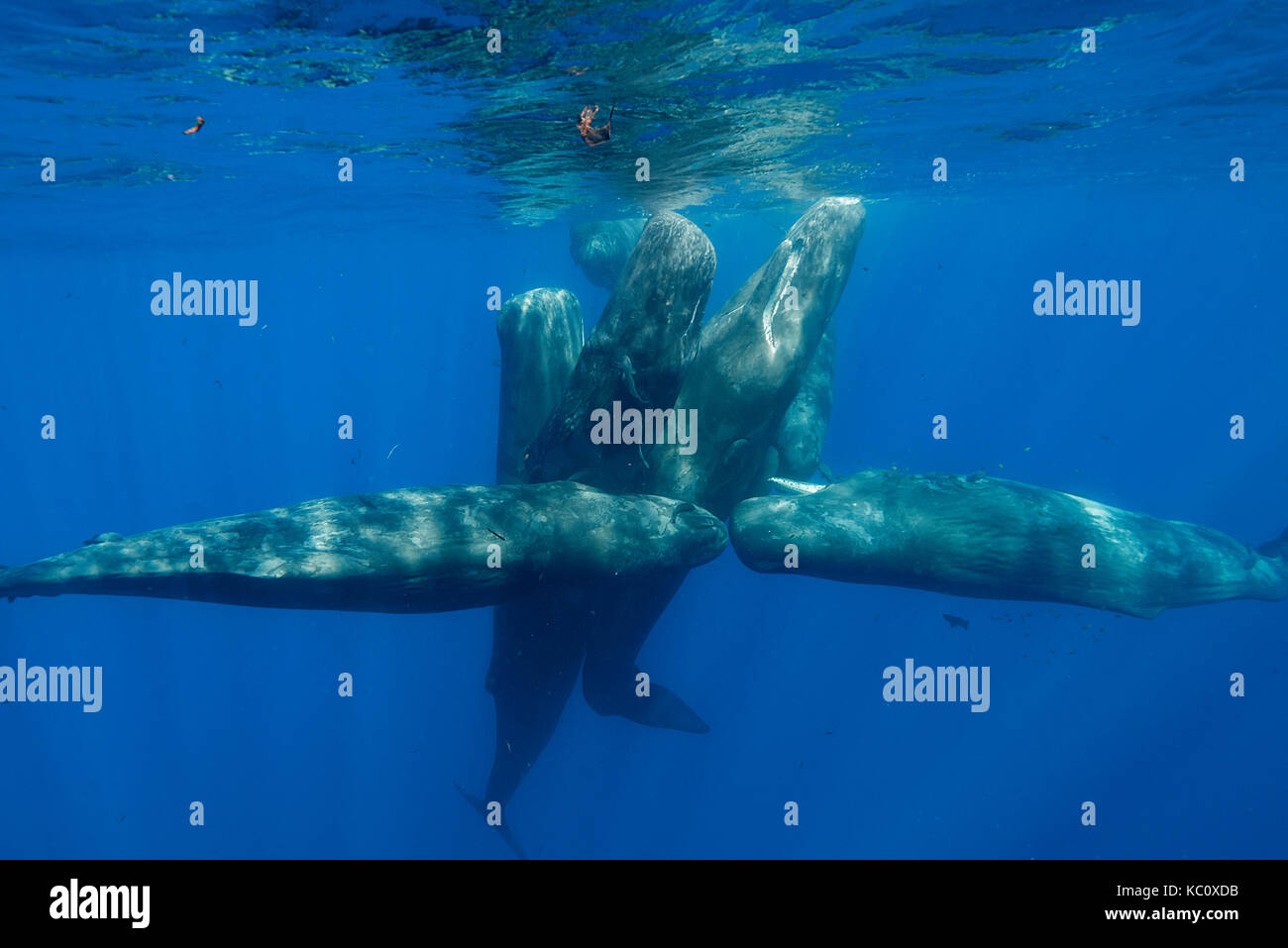 Pod of sperm whale calves and juveniles in a social group, Indian Ocean, north western Mauritius. - Stock Image
