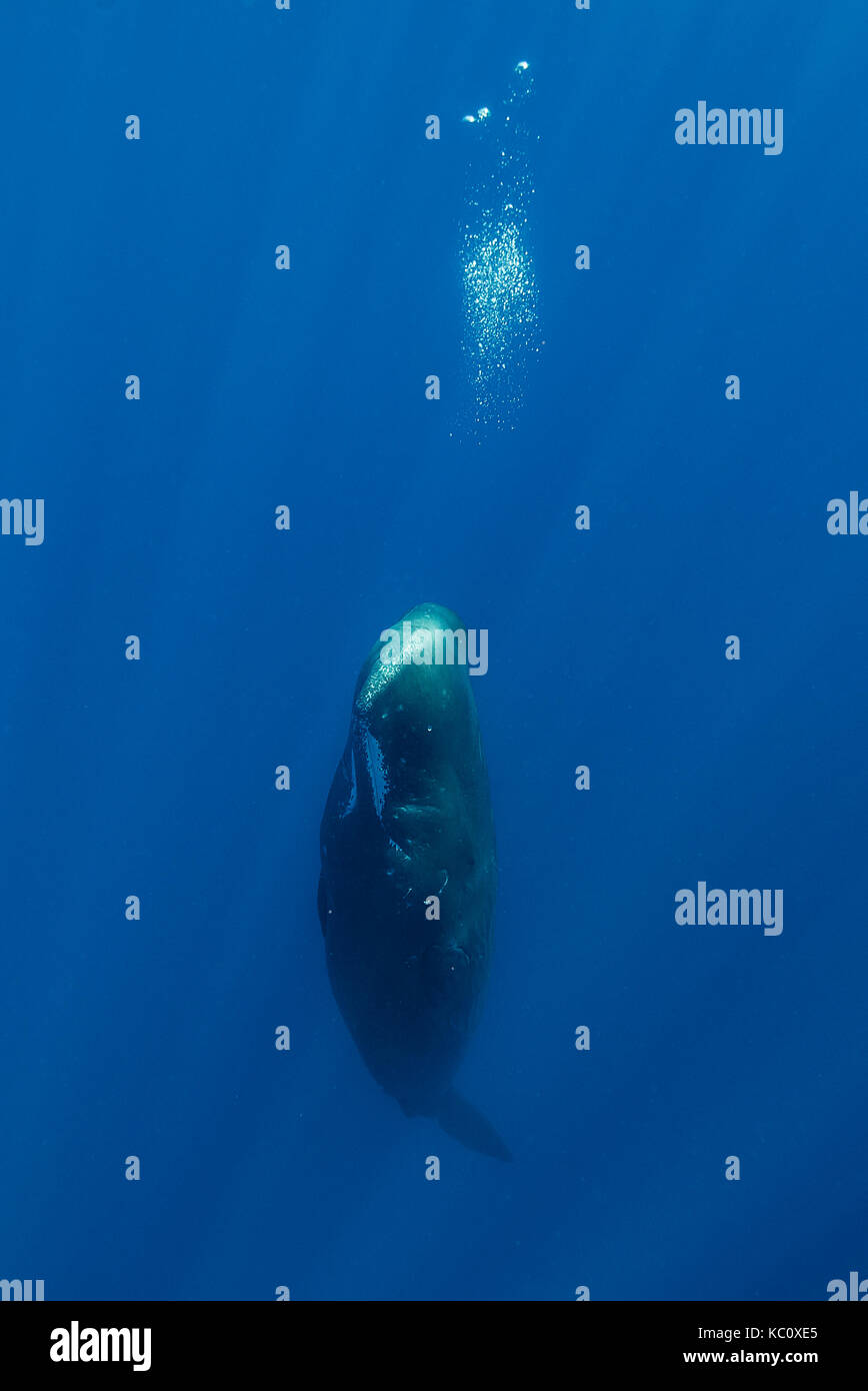 Sperm whale resting vertically, Indian Ocean, Mauritius. - Stock Image