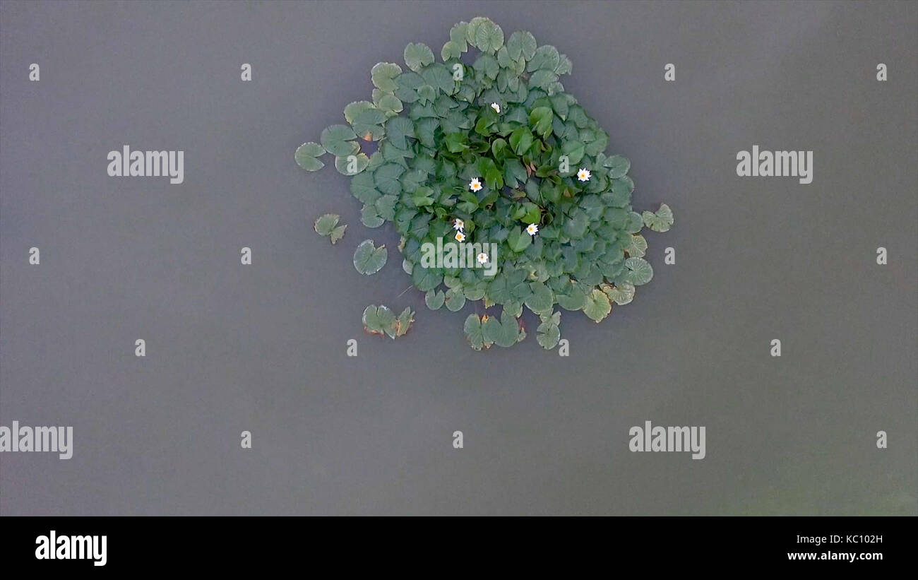 Flying over beautiful flower and leaves in swamp. Aerial flower and leaves in lake. Green swamp where the plant - Stock Image