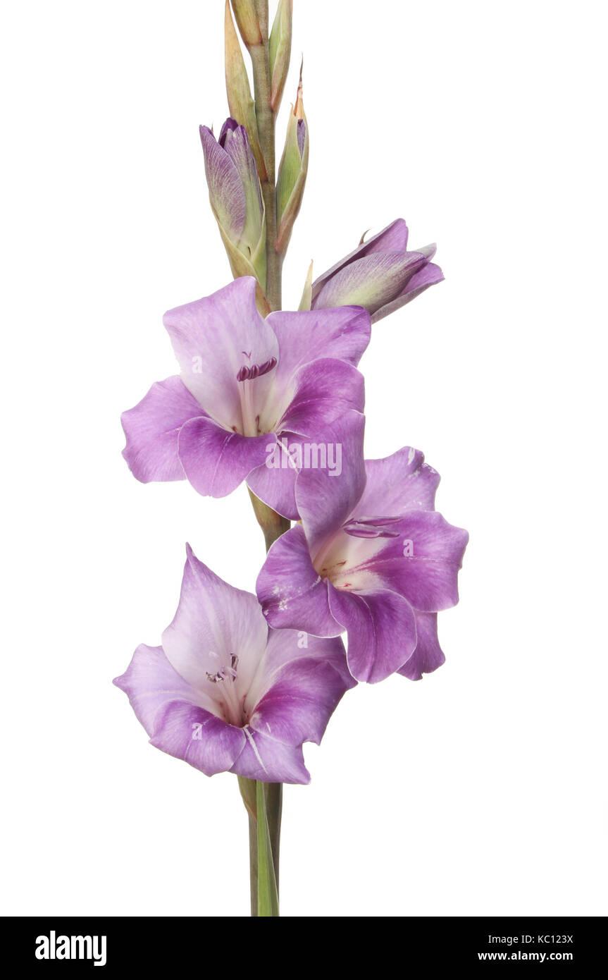 Closeup of purple gladioli flowers isolated against white stock closeup of purple gladioli flowers isolated against white mightylinksfo