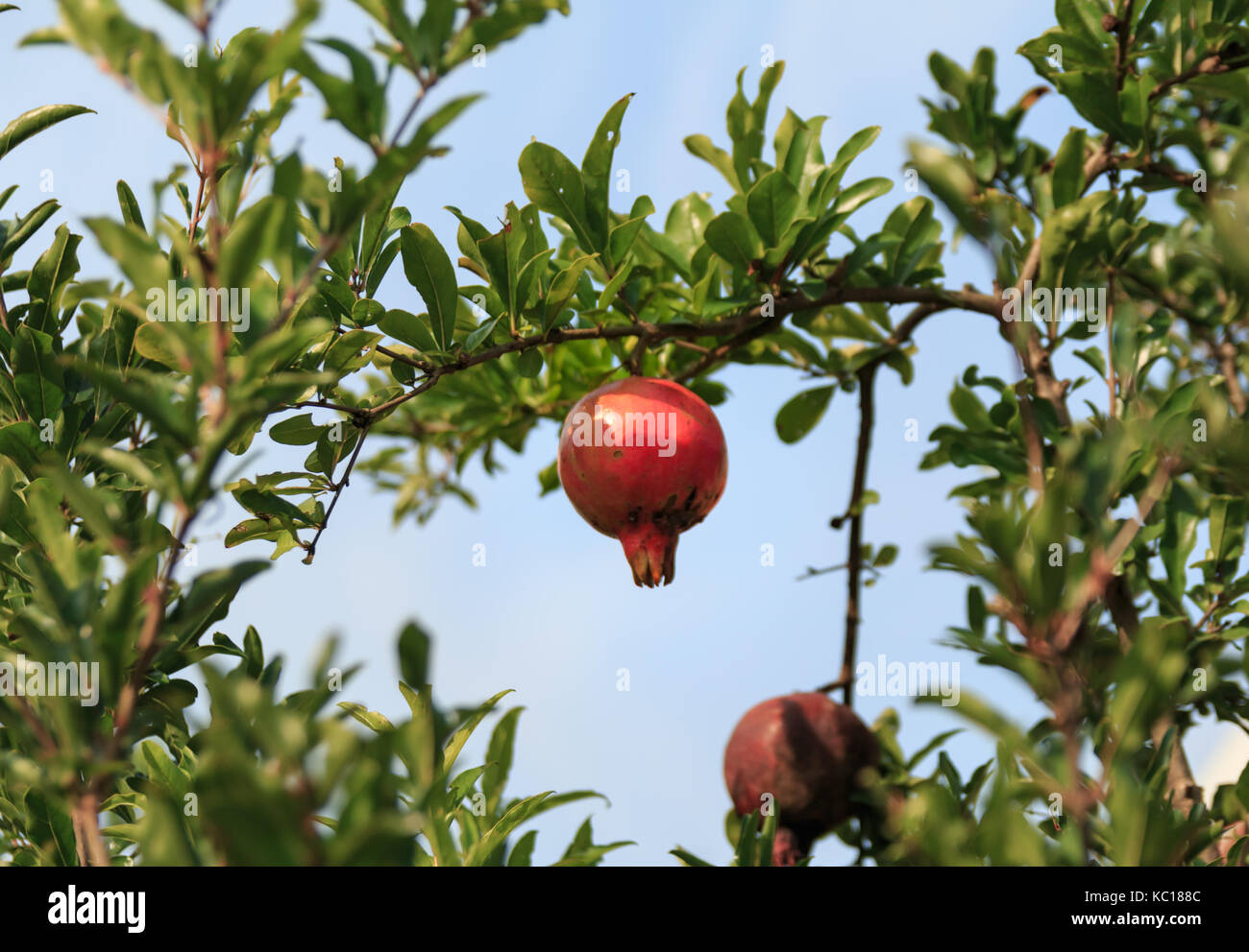 Pomegranate tree in autumn sunny day, with ripe fruits on the branches - Stock Image